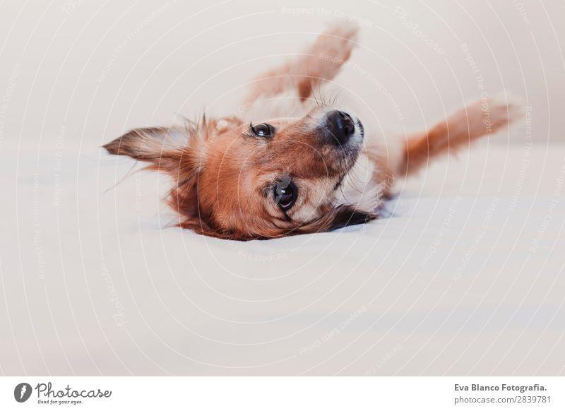 süßer Hund auf dem Bett liegend und ruhend. Morgenkonzept Krankheit Erholung Winter Schlafzimmer Tier Wärme Haustier Liebe schlafen träumen klein lustig