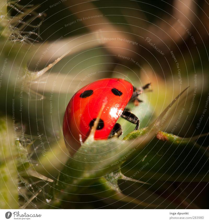 Pieks! Natur Sommer Pflanze Tier Blatt Umwelt Glück Garten Park Wildtier Schönes Wetter Insekt Umweltschutz Käfer Marienkäfer Dorn