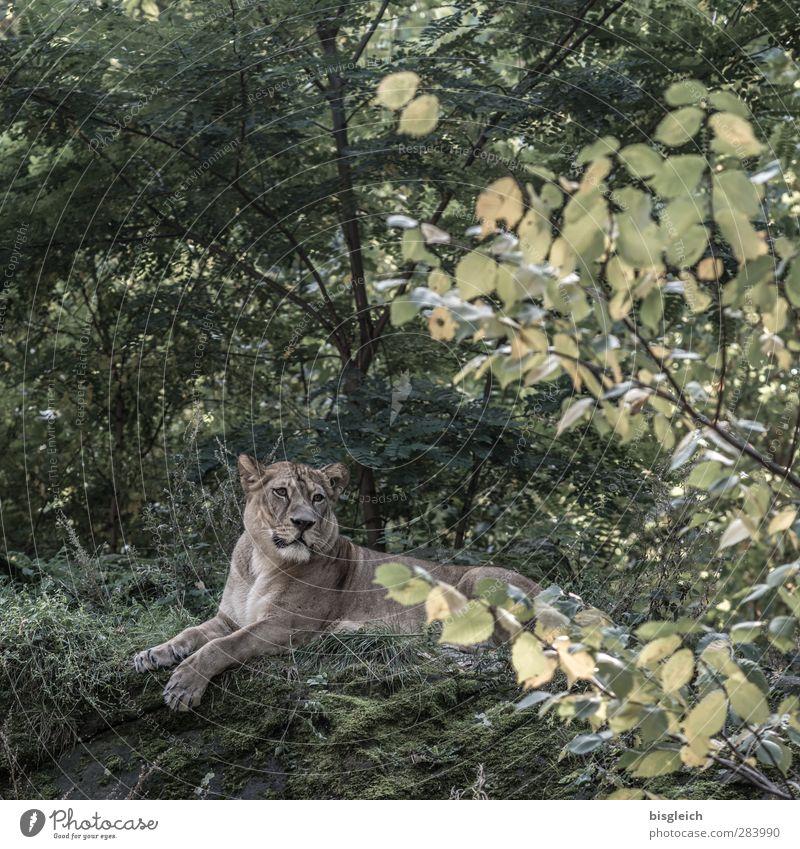 Löwin III grün Tier braun liegen Wildtier Zoo Löwin