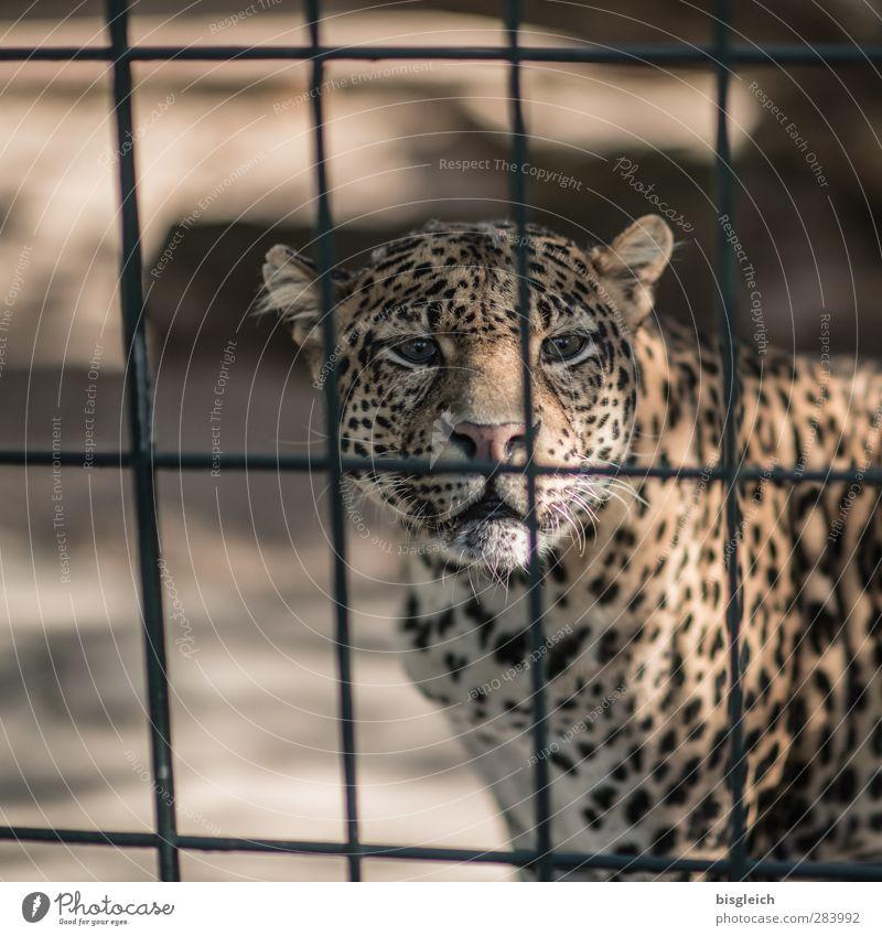 Leopard Tier gelb braun gold Wildtier Tiergesicht Zoo Gitter Leopard