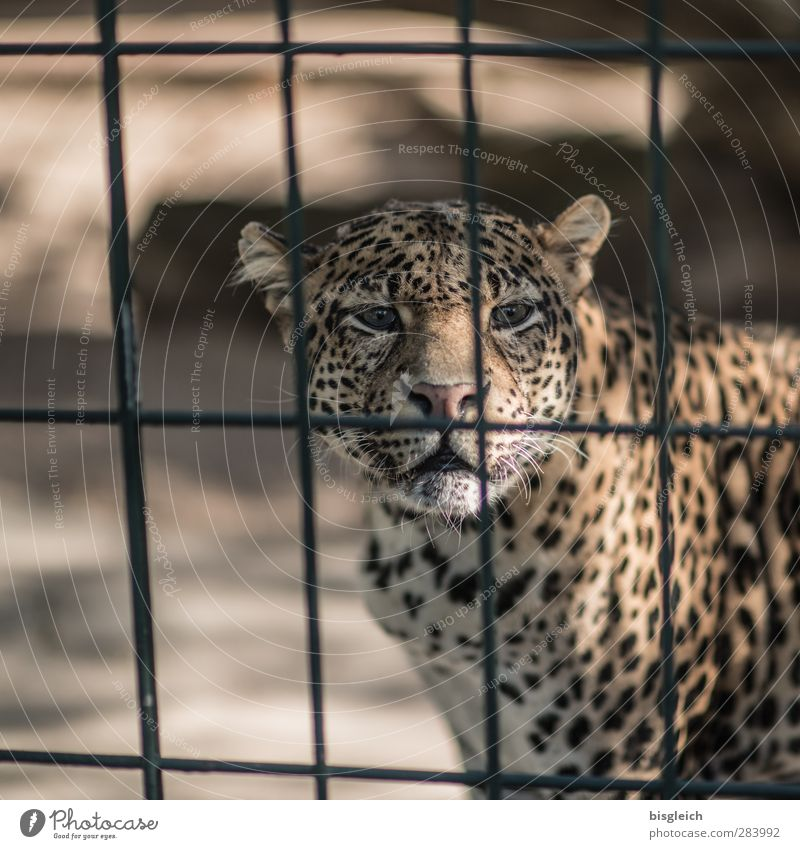 Leopard Zoo Tier Wildtier Tiergesicht 1 Gitter Blick braun gelb gold Farbfoto Außenaufnahme Menschenleer Textfreiraum links Tag Schwache Tiefenschärfe