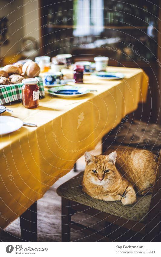 just chillin' Katze Freude Tier ruhig Erholung gelb Wärme Essen braun Wohnung Lebensmittel Zufriedenheit Lifestyle Tisch Ernährung beobachten