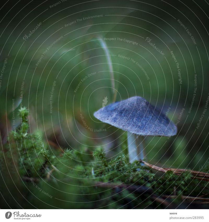 Magic Mushroom Natur blau Blatt Wald Herbst Essen entdecken Rauschmittel Herbstlaub Pilz Drogensucht Alternativmedizin Slowfood Genusssucht