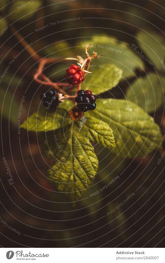 Nahaufnahme der Beeren am Busch Sträucher Brombeeren üppig (Wuchs) Pflanze Wachstum Natur Blatt Erfrischung Vitamin natürlich Gartenbau botanisch Park