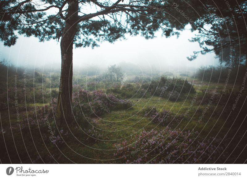 Kiefer bei nebligem Morgenwetter Nebel Landschaft Fichte Wald Zauberei u. Magie friedlich Dunst spukhaft Menschenleer Jahreszeiten Farbe Natur ländlich
