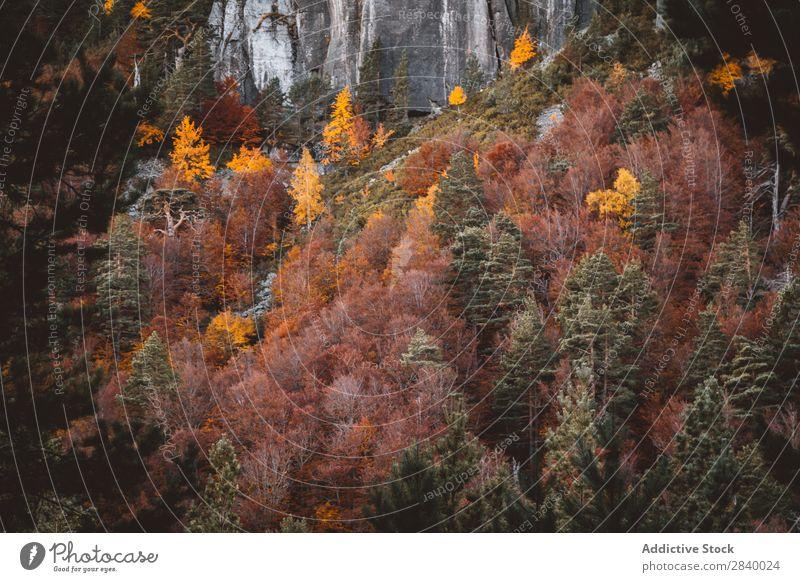 Helle Herbstbäume am felsigen Hang Landschaft Klippe Baum Wald herbstlich Farbe Natur prunkvoll friedlich Felsen Berge u. Gebirge Blatt ruhig Umwelt Wildholz