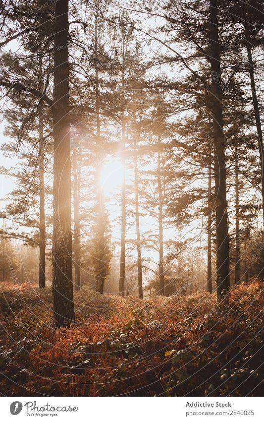 Sonnenlicht in ruhigen Herbstwäldern Wald Zauberei u. Magie Landschaft Natur Nebel malerisch frisch Blatt Umwelt Licht Jahreszeiten natürlich hell