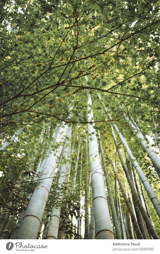 Bambusbäume im Wald Baum grün Wachstum tropisch Wildnis Natur Urwald Garten Umwelt natürlich frisch Orient Riese Ferien & Urlaub & Reisen Tierwelt Kultur