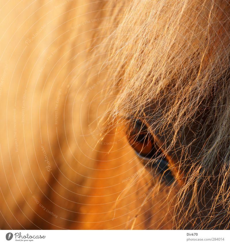 Blonde Mähne, braunes Auge Tier schwarz gelb dunkel Haare & Frisuren Kopf braun gold blond wild bedrohlich beobachten Pferd Fell Wut zart