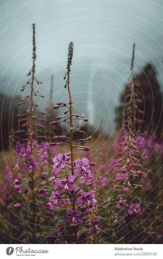 Lila Blumen, die in der Natur blühen. purpur klein Überstrahlung Feld grün Aussicht