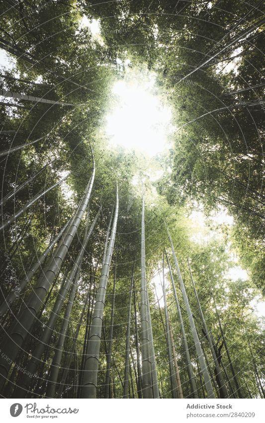 Sonneneinstrahlung durch Bambusse Sonnenlicht Wald grün Natur Asien Wahrzeichen Wachstum Park Pflanze Kultur Arashiyama Japan Umwelt Kyoto ökologisch