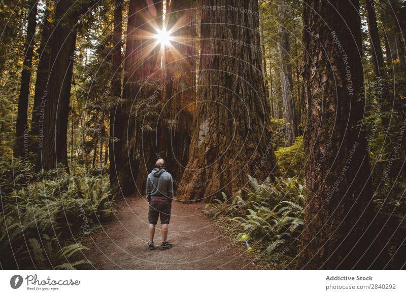 Der Mensch zwischen riesigen Bäumen und Sonnenlicht Mann Wald Zauberei u. Magie Landschaft beobachten nachdenklich Natur ländlich alt Sonnenstrahlen Abenteuer