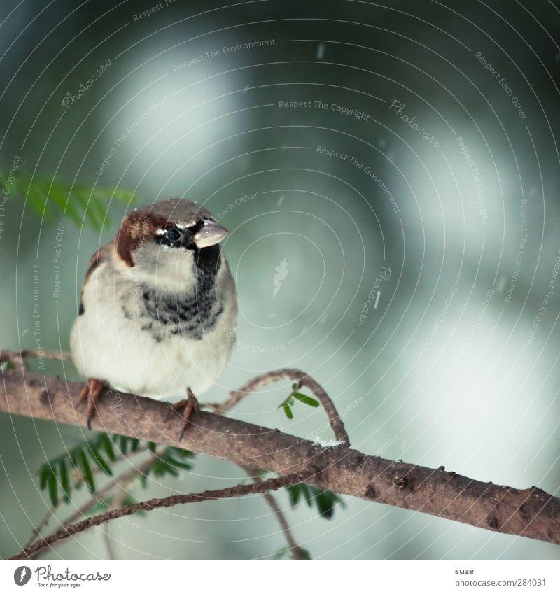 Kleiner Mann Umwelt Natur Tier Winter Wetter Wildtier Vogel 1 sitzen warten klein niedlich braun grau Spatz Feder tierisch Gesang Zweig Schnabel Ornithologie