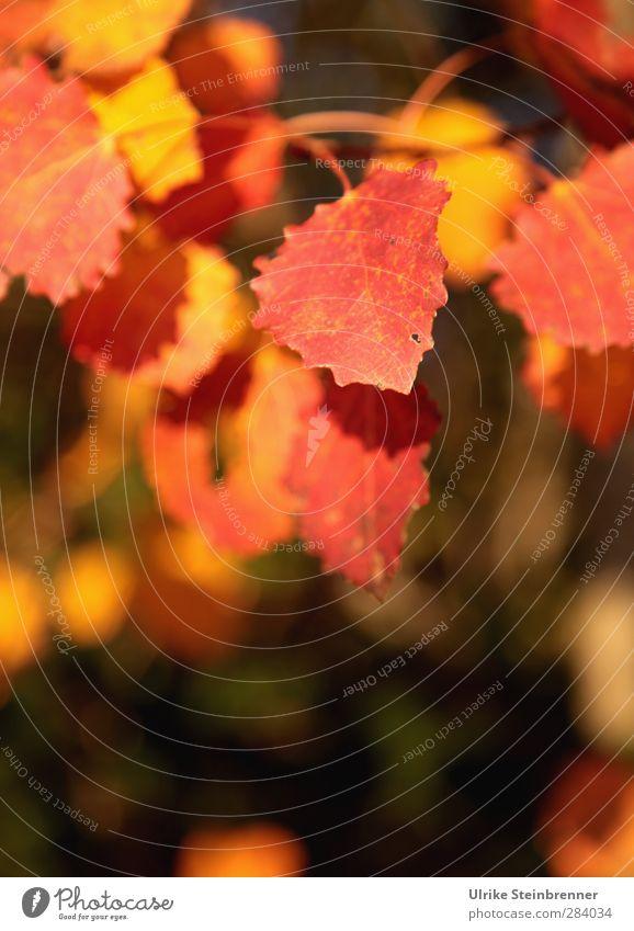 Sonniger Oktober Natur alt Pflanze Baum Blatt ruhig Erholung Wald gelb Umwelt Wärme Herbst Senior Garten Park natürlich