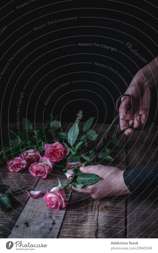 Getreideperson beim Schneiden von Rosen rosa schön Blume Hand Schere Rost Natur Liebe Beautyfotografie Farbe Blütenblatt weiß Romantik Valentinsgruß Pflanze