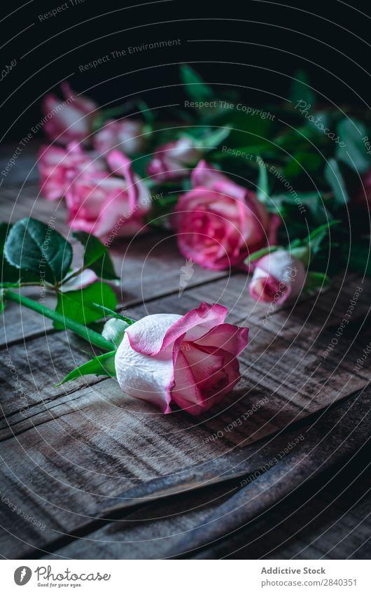 Nahaufnahme von zartrosa Rosen schön Blume Natur Schere Liebe Beautyfotografie Farbe Blütenblatt weiß Romantik Valentinsgruß Pflanze geblümt grün romantisch