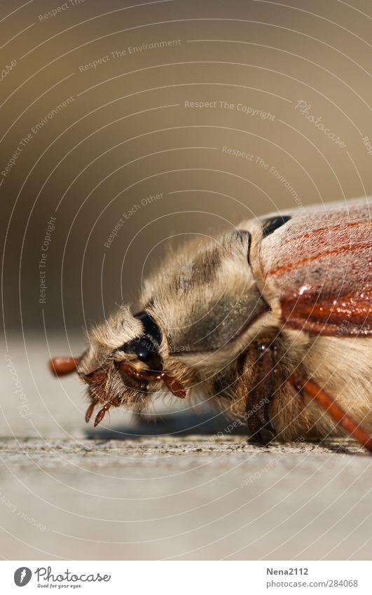 Besuch aus dem Mai...in Oktober! :) Natur Tier Käfer 1 braun Maikäfer Insekt krabbeln Behaarung Auge Farbfoto Außenaufnahme Nahaufnahme Makroaufnahme