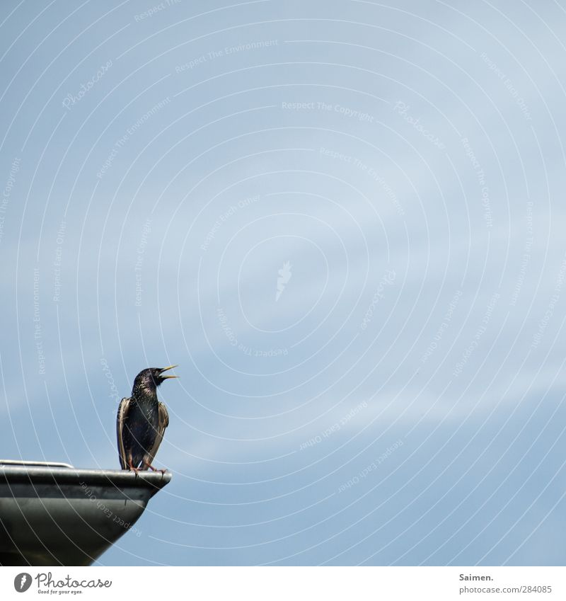 miniadler Tier Wildtier Vogel 1 schreien Star Schnabel Feder sitzen Dach Gezwitscher Himmel Blauer Himmel glänzend Flügel singen Farbfoto Außenaufnahme