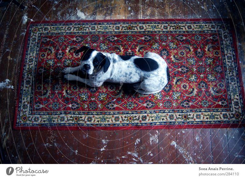 Teppich Liebe. Holzfußboden Holzbrett Tier Hund 1 liegen dunkel Gefühle Schattenspiel Muster gepunktet dreckig Erwartung Haustier Farbfoto Gedeckte Farben