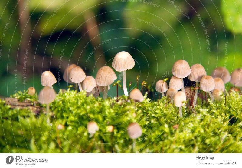 Männlein im Walde Natur Landschaft Pflanze Pilz Moos Wachstum nah natürlich braun grün viele klein zart zerbrechlich sensibel Farbfoto Außenaufnahme