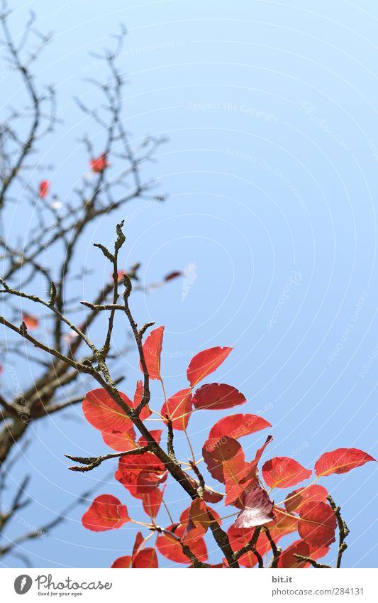 FEUERholz und FLAMME Umwelt Natur Pflanze Himmel Wolkenloser Himmel Herbst Klima Schönes Wetter Baum Sträucher hängen leuchten dehydrieren blau rot