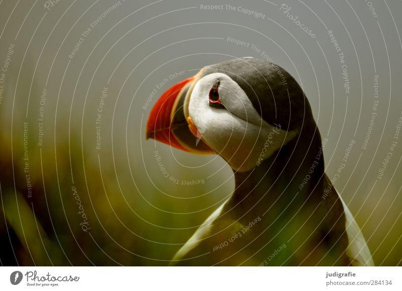 Island Natur schön Tier Umwelt Gras Küste Vogel Stimmung natürlich Wildtier warten niedlich Papageitaucher