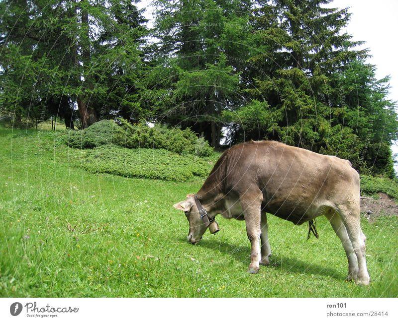 kuh Kuh Gras Baum braun Kalb Rind Verkehr tanen cow gün Ernährung