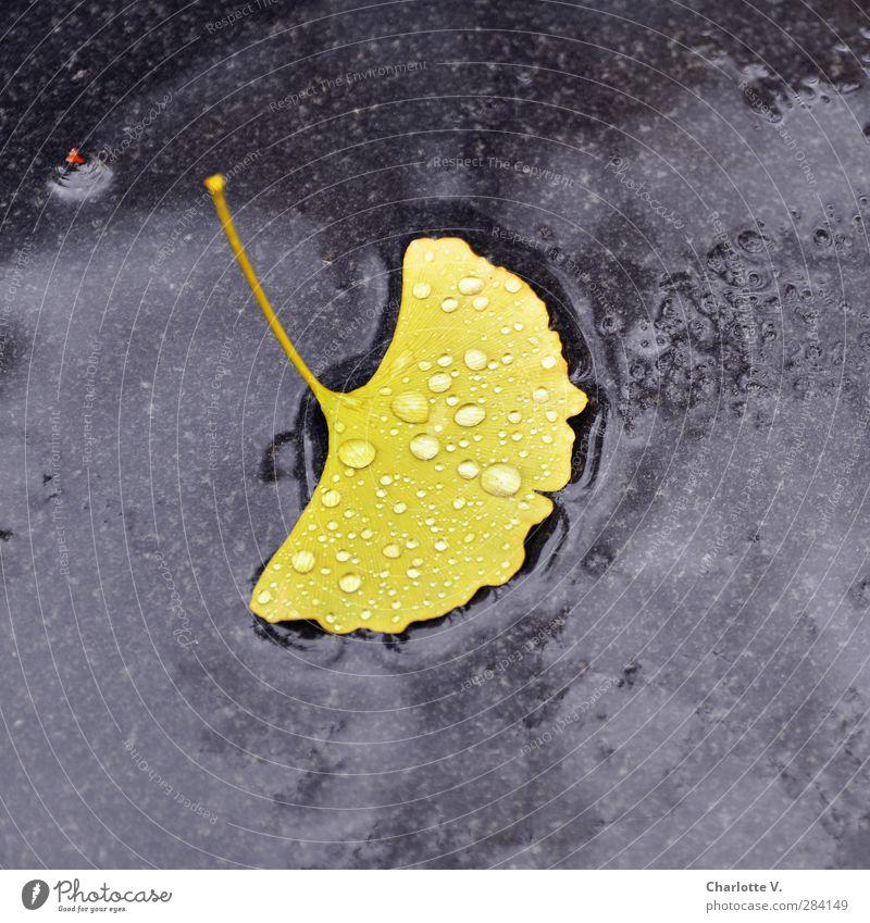 Ginkgo-Blatt Pflanze Herbst schlechtes Wetter Regen Stein Wasser ästhetisch einfach exotisch nass weich gelb schwarz Reinheit Endlichkeit Einsamkeit einzigartig