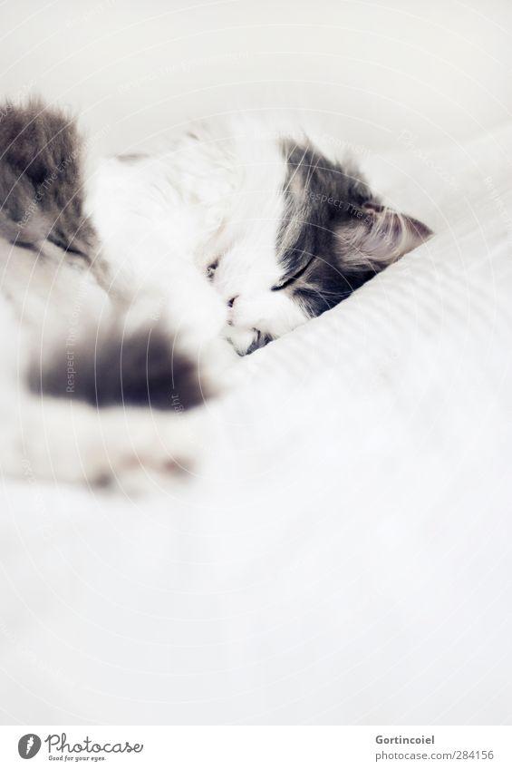 Eingeschlafen. Für immer. Katze schön Tier ruhig Erholung Liebe niedlich Fell zart Haustier langhaarig Hauskatze friedlich Katzenkopf