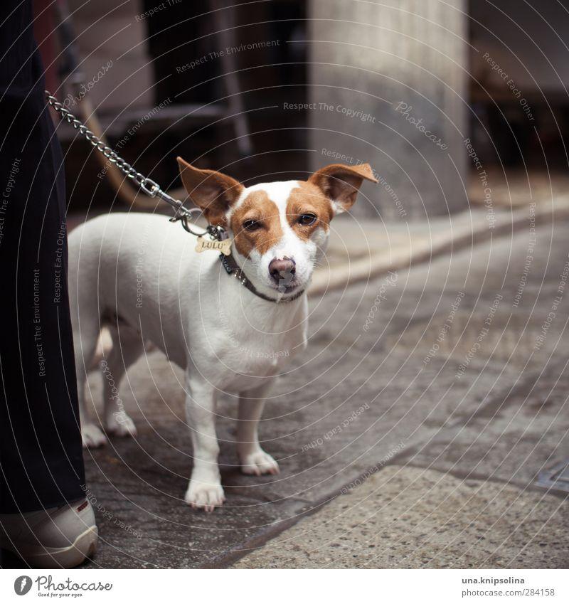lulu Tier Haustier Hund Tiergesicht Fell Jack-Russell-Terrier 1 beobachten warten gefleckt Streetlife Hundeleine Hundehalsband Gassi gehen Farbfoto