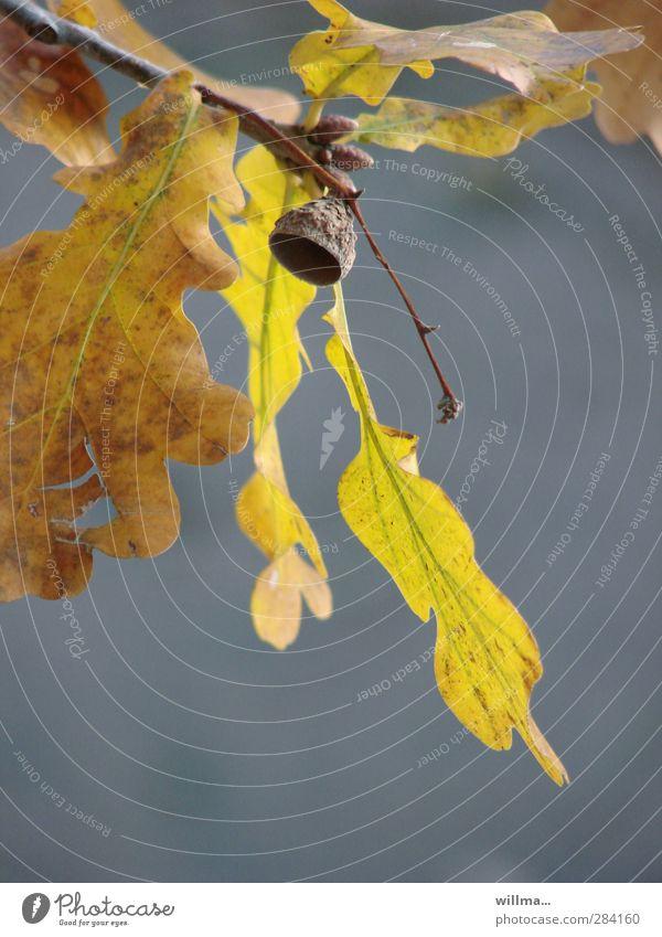 außer haus Herbst Blatt Eichenblatt Eicheln Zweige u. Äste braun gelb grau Vergänglichkeit herbstlich Leerstand harmonisch Zufriedenheit Farbfoto Außenaufnahme