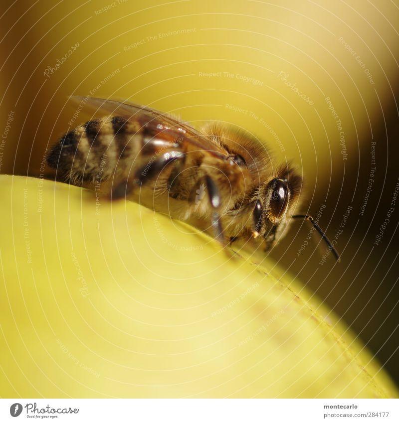 | | | | Tier Nutztier Wildtier Biene 1 dünn authentisch klein nah natürlich klug Geschwindigkeit stachelig feminin wild weich gelb schwarz Tierliebe Leben Natur