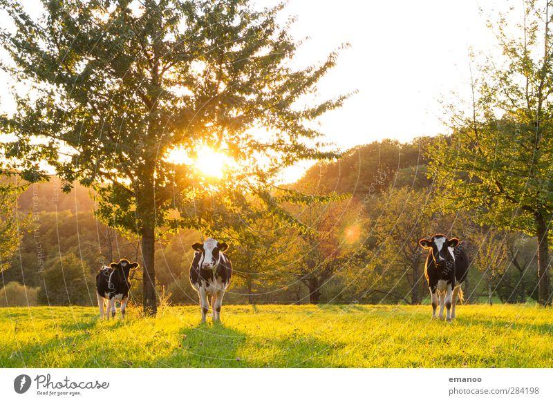 die 3 von der Streuobstwiese Landwirtschaft Forstwirtschaft Umwelt Natur Landschaft Sonne Sommer Herbst Klima Wetter Baum Gras Wiese Wald Hügel Tier Nutztier