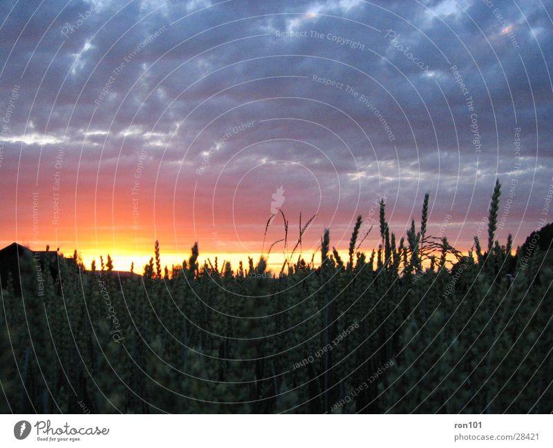 weizen by night Sonnenuntergang Weizen Wolken rot Himmel blau orange