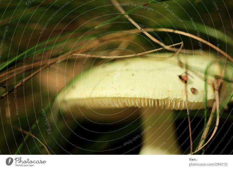 Vorsicht, giftig! Natur Pflanze Herbst Gras Pilz Knollenblätterpilz Lamelle Wald gelb grün Gift gefährlich Farbfoto Gedeckte Farben Außenaufnahme Menschenleer