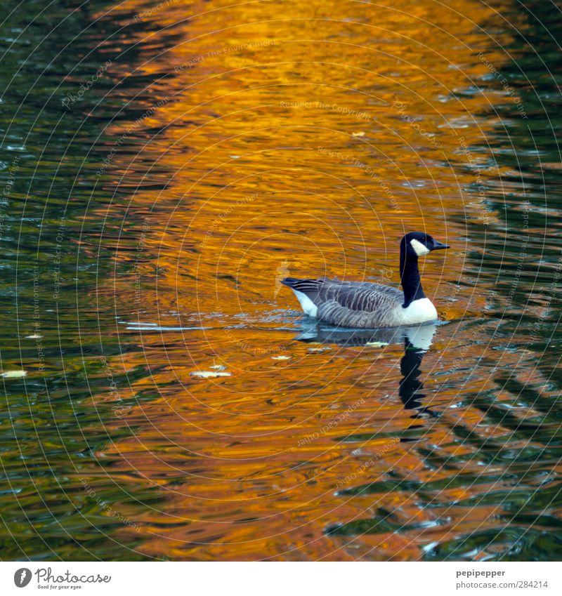 ------!- Wasser Herbst Teich See Tier Wildtier Vogel 1 Bewegung Schwimmen & Baden orange Gans Farbfoto Außenaufnahme Dämmerung Licht Reflexion & Spiegelung