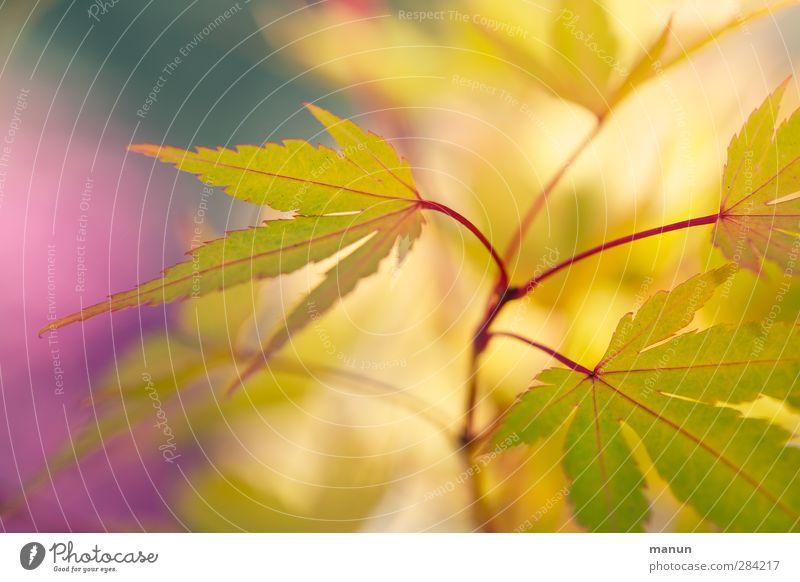 gelbe Spitzen Herbst Pflanze Sträucher Blatt Ahornblatt Ahornzweig Japanischer Ahorn Herbstfärbung herbstlich authentisch natürlich Farbfoto Außenaufnahme