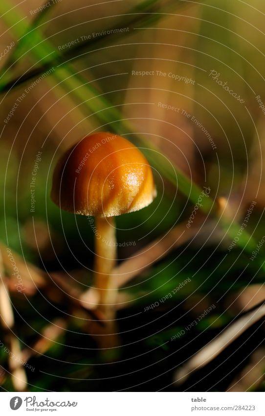 Willi Winzig Umwelt Natur Pflanze Sommer Herbst Schönes Wetter Gras Pilz Pilzhut Wald glänzend stehen Wachstum warten dunkel hell klein niedlich braun grün