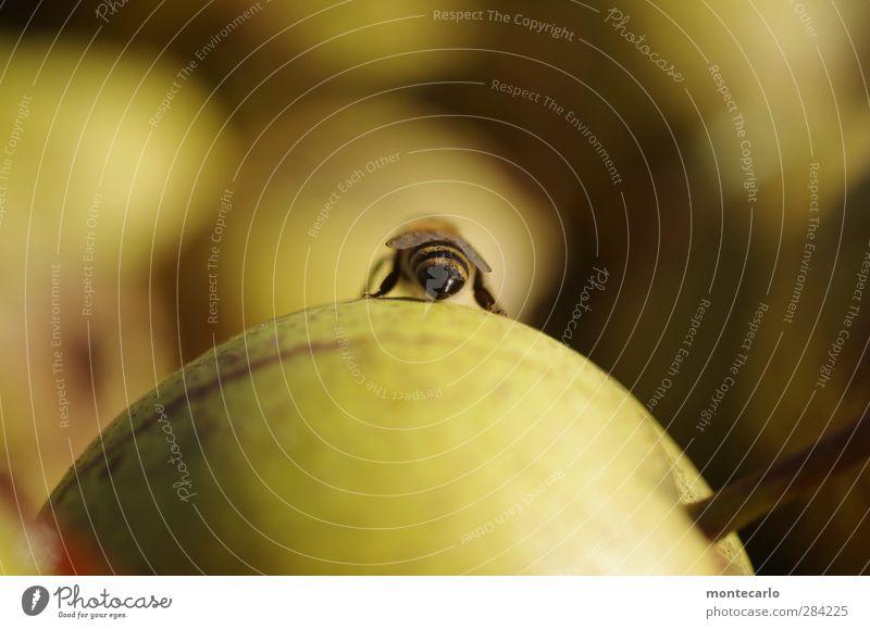 wer hat an der uhr gedreht .... Lebensmittel Frucht Birne Tier Nutztier Wildtier Biene 1 Duft dünn authentisch frisch Gesundheit natürlich saftig Spitze