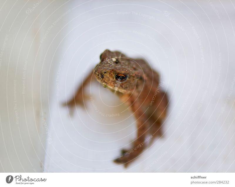 Mamaaa! Tier Wildtier Frosch 1 Tierjunges klein braun Kröte Amphibie Auge unfreundlich Makroaufnahme Freisteller Außenaufnahme Menschenleer