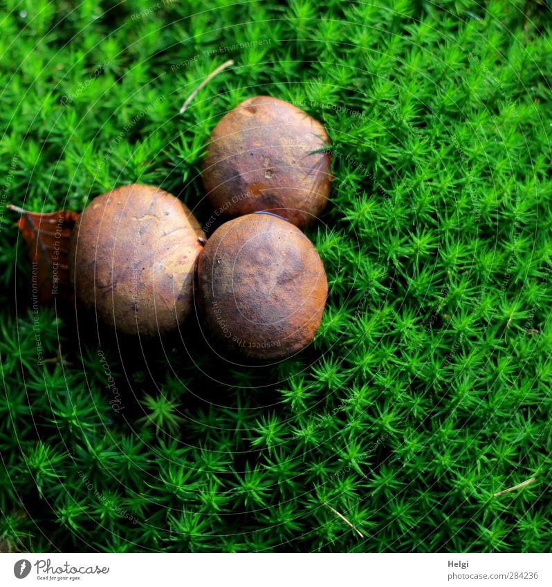 Drillinge... Umwelt Natur Pflanze Herbst Moos Grünpflanze Wildpflanze Pilzhut Maronenröhrling Wald stehen Wachstum ästhetisch authentisch außergewöhnlich frisch