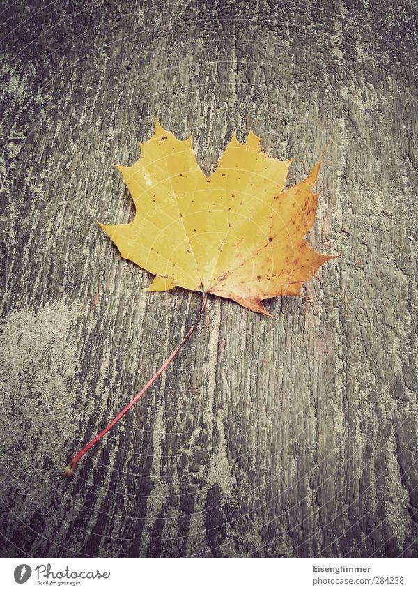 Herbstblatt Blatt Herbstlaub Ahornblatt alt ästhetisch gelb Vergänglichkeit Holzplatte Holzuntergrund Herbstfärbung herbstlich Farbfoto Außenaufnahme