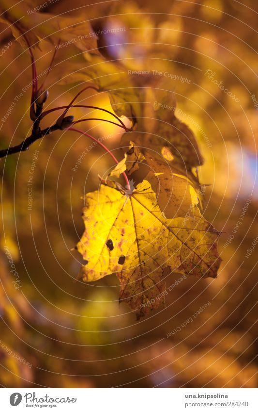 herbstlich(t) Umwelt Natur Pflanze Herbst Baum Blatt Ahorn hängen färben Orange Farbfoto Außenaufnahme Nahaufnahme Detailaufnahme Muster Strukturen & Formen