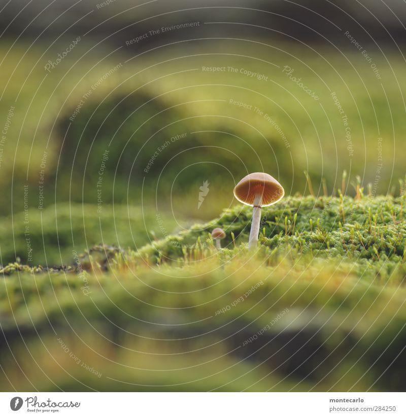 neulich.. Umwelt Natur Pflanze Herbst Moos Grünpflanze Wildpflanze Pilz dünn authentisch einfach klein lang wild grün Farbfoto mehrfarbig Außenaufnahme