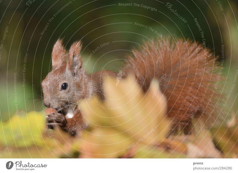 Herbsthörnchen Umwelt Natur Tier Blatt Wildtier 1 niedlich braun grün Eichhörnchen Säugetier Eicheln Herbstlaub herbstlich Farbfoto Außenaufnahme Menschenleer