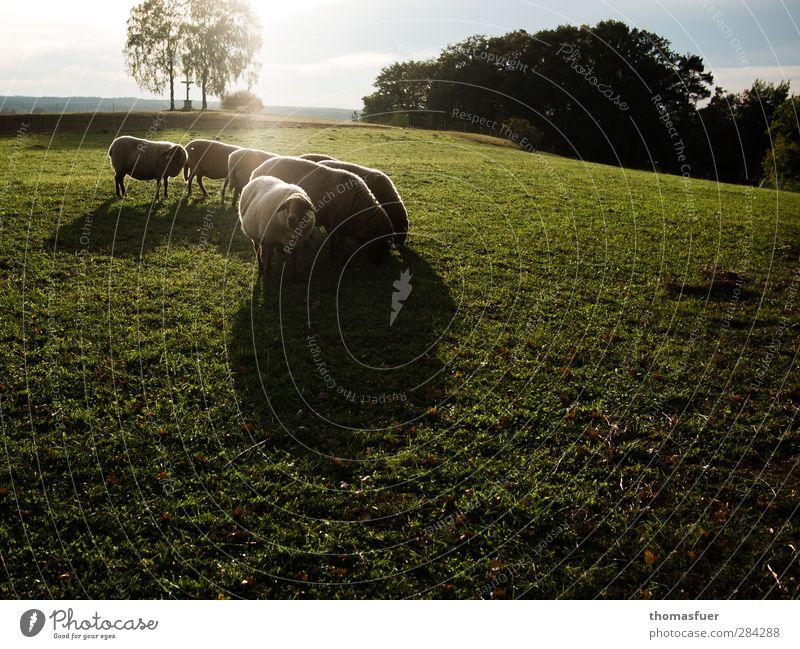 100% genuin Lambswool Natur Landschaft Himmel Wolken Sonnenlicht Herbst Wiese Tier Nutztier Schaf Tiergruppe Herde Fressen Zusammensein braun grün Stimmung