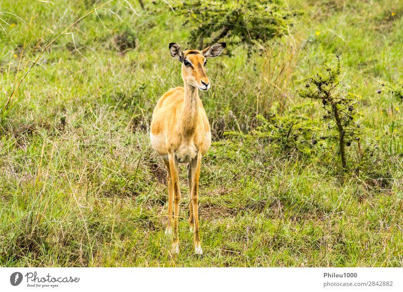 weiblicher Buschguib in der Savanne schön Safari Mann Erwachsene Natur Tier Park natürlich wild grün schwarz Buschbock Nairobi Aepyzeros Afrika Afrikanisch