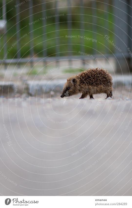 Auf Abwegen Natur Tier Wildtier Zoo 1 Tierjunges laufen frei klein niedlich Igel Stachel stachelig baby Freiheit Zaun Kies Wege & Pfade Geruch Suche Spaziergang