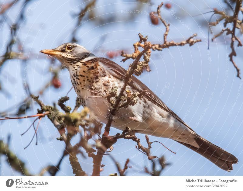 Wacholderdrossel im Baum Natur Tier Himmel Sonnenlicht Schönes Wetter Zweige u. Äste Wildtier Vogel Tiergesicht Flügel Krallen Drossel Schnabel Feder Auge 1