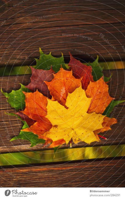 Bunt sind schon die Wälder.. Garten Dekoration & Verzierung Erntedankfest Natur Pflanze Herbst Baum Blatt Wald Holz alt fallen verblüht braun mehrfarbig gelb